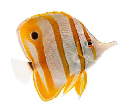peces de acuario: peces de arrecife, peces marinos, coralfish pico, copperband mariposa, aislado en blanco Foto de archivo