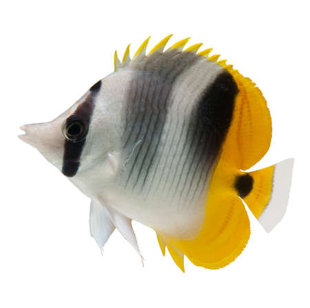 marine fish, butterflyfish reef fish on white background  Stock Photo - 13112895