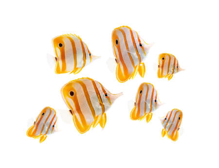 chaetodontidae: reef fish, marine fish, beak coralfish, copperband butterflyfish, isolated on white