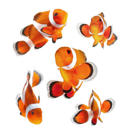 clowns: reef fish , clown fish or anemone fish isolated on white background
