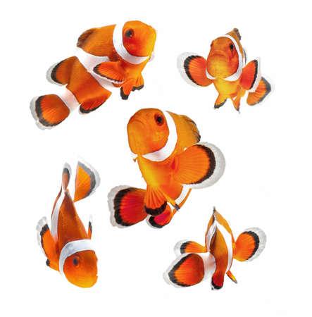 Riff-Fische, Clownfische oder Anemonenfisch isoliert auf weißem Hintergrund