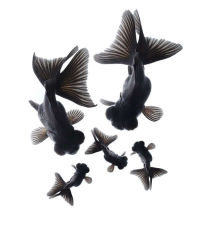 black moor: black goldfish family, happiness concept