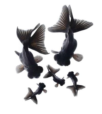 peces de colores: familia de peces de colores negro, concepto de la felicidad