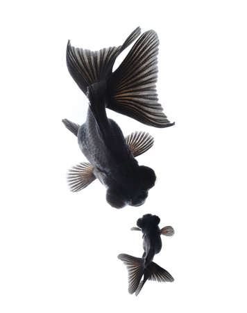 black moor: goldfish mother and child, happiness concept