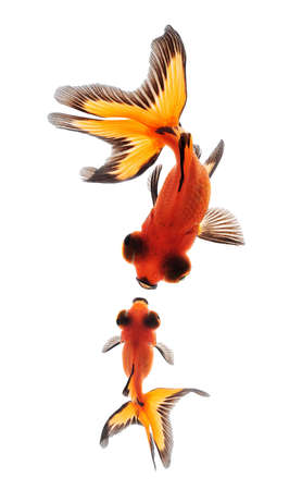 black moor: goldfish mother and child concept for mother day  Stock Photo