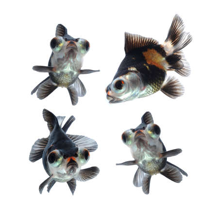 big eyes:  goldfish isolated on white background