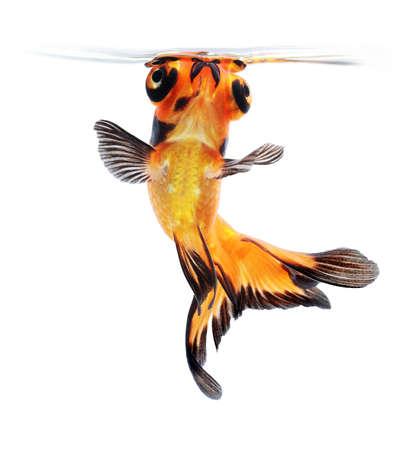 aquarium hobby:  goldfish isolated on white background
