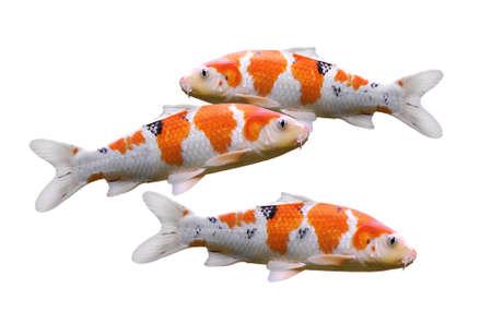 escamas de peces: peces carpa, pez koi aisladas sobre fondo blanco