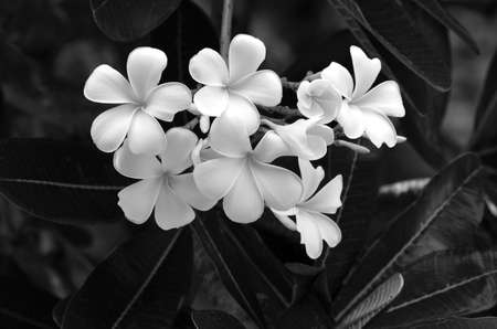 bali flower, temple flower in black and white