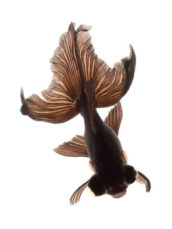 BLACK goldfish isolated on white background photo