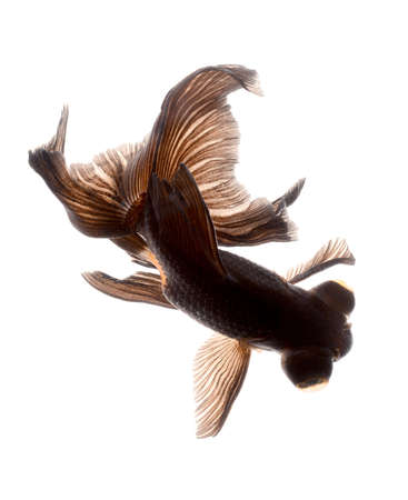 BLACK goldfish isolated on white background Stock Photo - 14041341