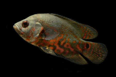 oscar fish on black background Stock Photo - 14207879