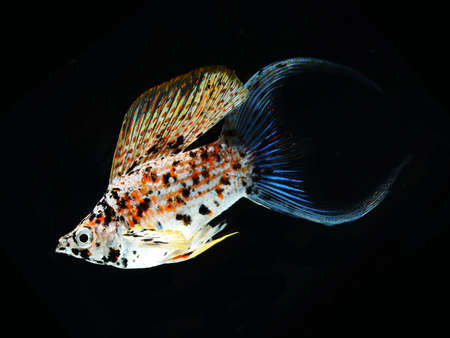 molly fish crescent tailed isolated on black background Stock Photo - 14398719