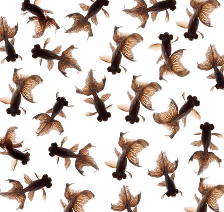 black moor: goldfish pattern isolated on white background Stock Photo