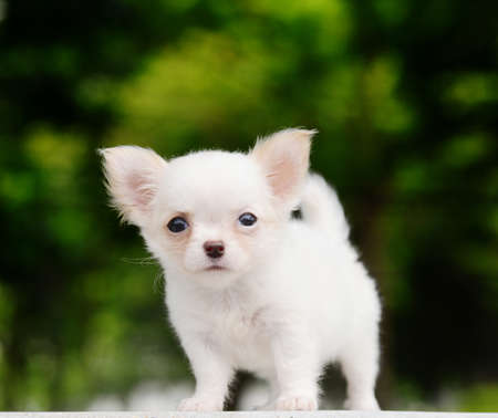 lovely chiwawa puppy photo