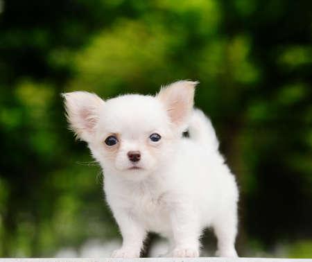 chiwawa: lovely chiwawa puppy