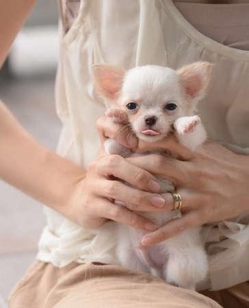 chiwawa: chiwawa white puppy dog pet