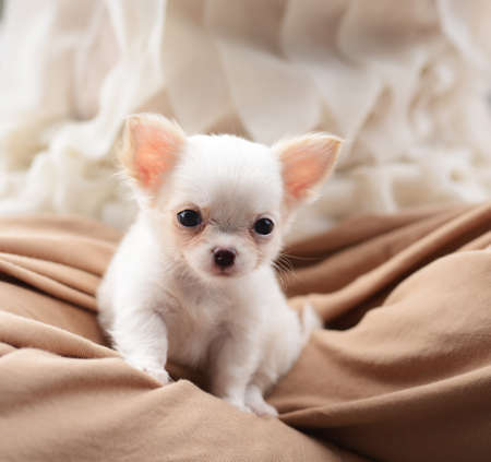 chiwawa white puppy dog pet Stock Photo - 14398732
