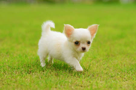 miniature breed: chiwawa perro en el c�sped en el parque Foto de archivo