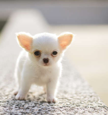 white chiwawa puppy  photo