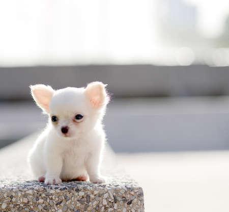 white chiwawa puppy