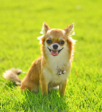 chiwawa dog on grass in park