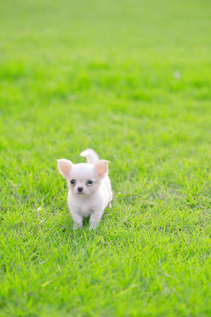 chiwawa white puppy on grass photo