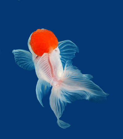 jelly head: goldfish on blue background Stock Photo