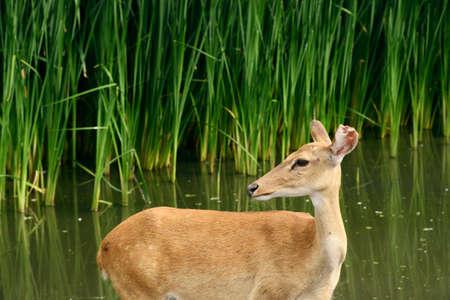 wildlife, deer on wild background