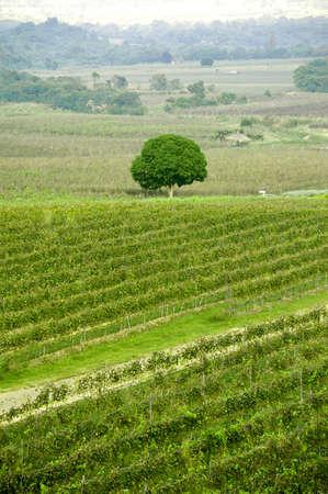 vineyard with big tree photo