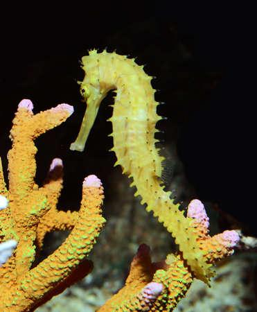 caballo de mar: caballito de mar Hippocampus natación