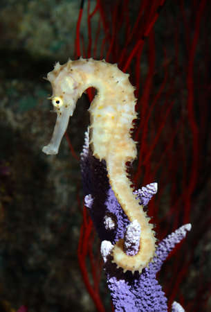 sea mammal: seahorse  Hippocampus  swimming