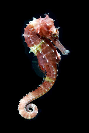 seahorse  Hippocampus  swimming isolated on black photo