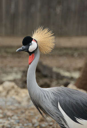rare animals: wildlife, close up of african crowned crane Stock Photo