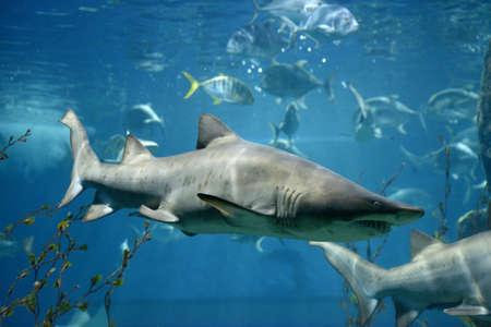 サメ魚、メジロザメ属のサメ、水中の海産魚