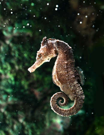 seahorse , hippocampus Stock Photo - 14842271