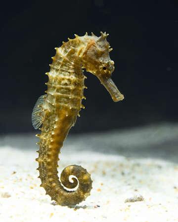 black horse: seahorse, hipocampo