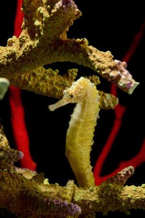 seahorse , hippocampus photo