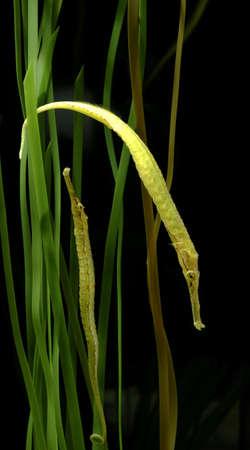 reef fish, alligator pipefish with seaweed Stock Photo - 14842269