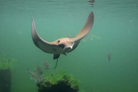 diving save: eagle string ray swimming, eagle ray Stock Photo
