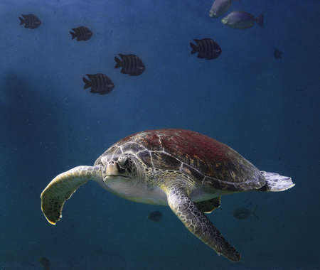 sea turtle Stock Photo - 14868444