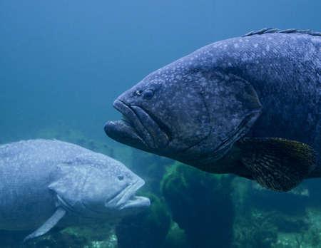 Riesen Zackenbarsche Unterwasser