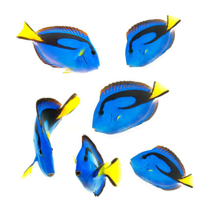 reef fish, blue tang photo