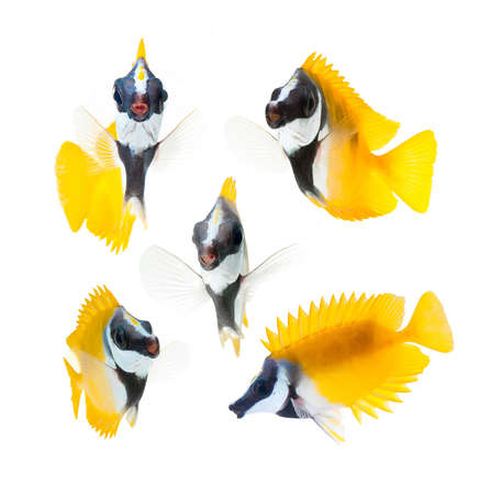 fox face: peces de arrecife, quimeras amarillo cara de zorro aislado sobre fondo blanco