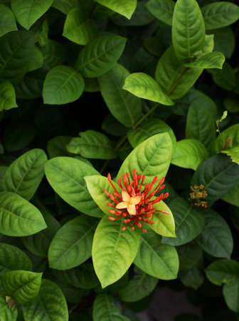 ixora flower with green leaf  photo