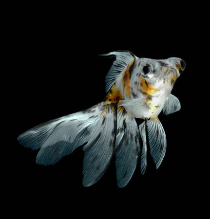 goldfish isolated on black background photo