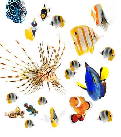 peces de acuario: peces, peces de arrecife, peces marinos partido aislado sobre fondo blanco