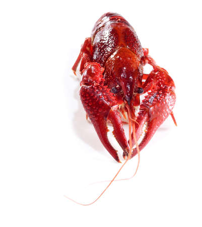 red crayfish lobster prawn isolated on white background Stock Photo - 15879077