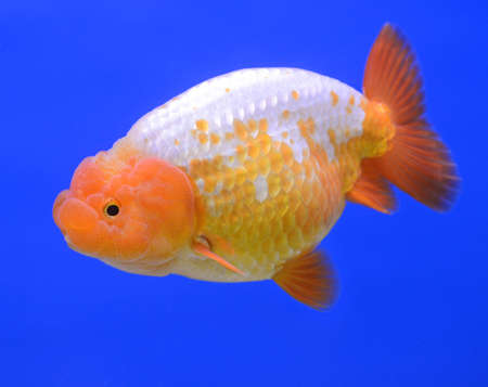lion head goldfish on blue background  photo