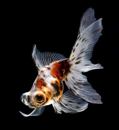 goldfish isolated on black background Stock Photo - 15878205